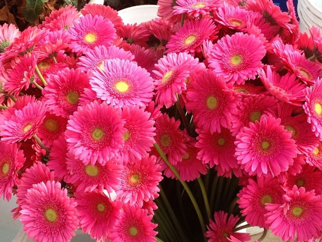 Local Flower Farm Donates Thousands of Pink Gerbera Daisies to Susan G. Komen San Diego 3-Day Participants